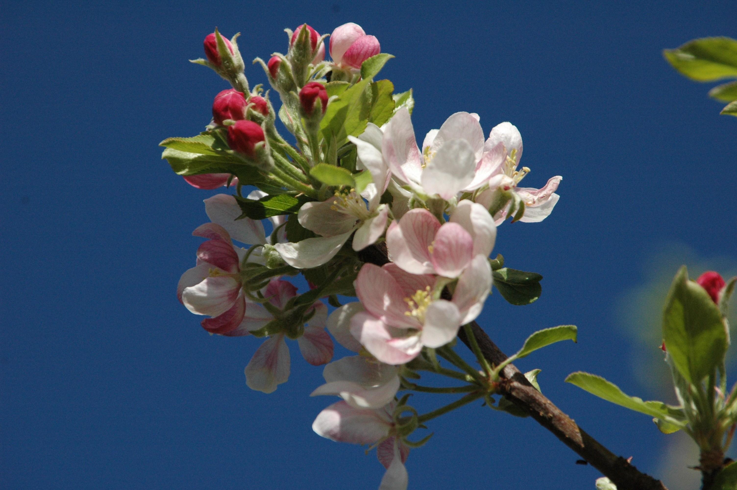 Flor da Macieira - Turismo on line