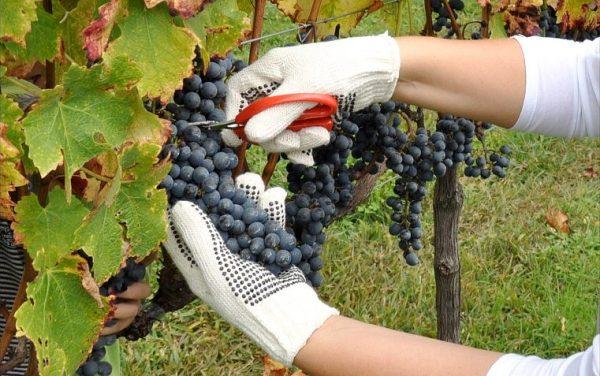 Colheita de Uvas-Falando de Turismo