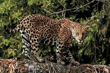 Onça, Pantanal-Falando de Turismo
