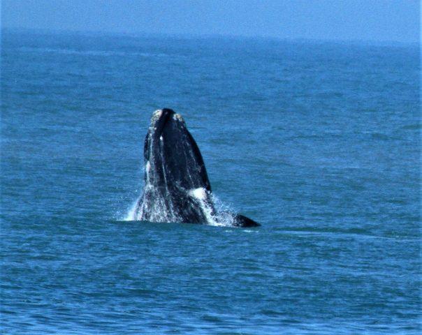 Segue emperrado o turismo de observação de baleias em SC